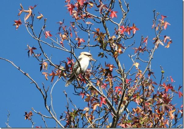 Kookaburra in the Liquid Amber Tree