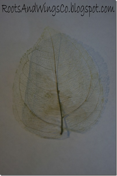 leaf skeleton b