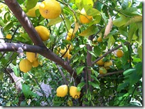 oranges and lemons a