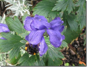IMG_0003 Monkshood