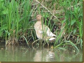 IMG_0040 Duck 4chicks