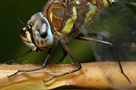hawkerdragonflymacro