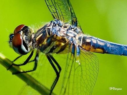 dragonflybyhvargas