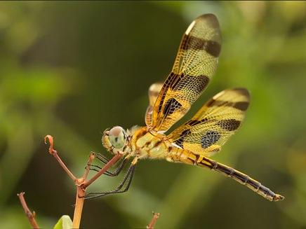 halloweenpennantdragonfly