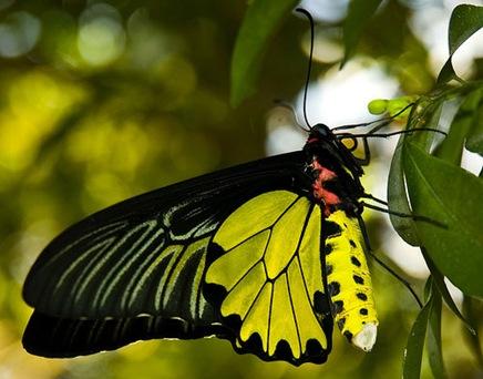 malegoldenbirdwingbutterfly