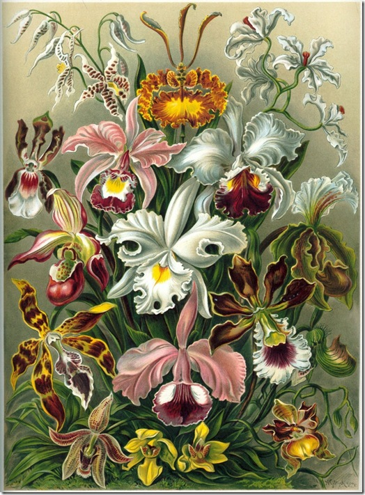 Haeckel_Orchidae (FILEminimizer)