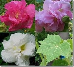 Hibiscus-Confederate-Rose