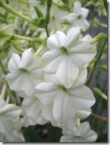 nicotiana_alata_grandiflora