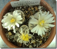 Lithops karasmontana bella