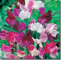 lathyrus