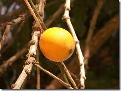 Pouteria psammophilla - Guapeva Acu (1)