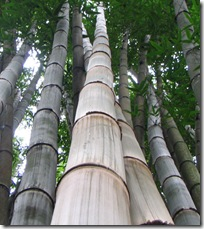 dendrocalamus giganteus3