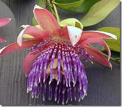 passiflora-ambigua