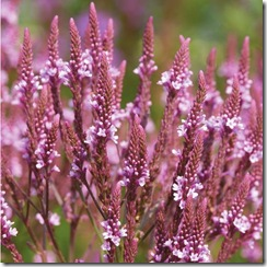 Verbena hastata Pink Spires