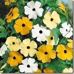 Black Eye Susan Mix