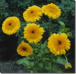 Calendula Kablouna Yellow