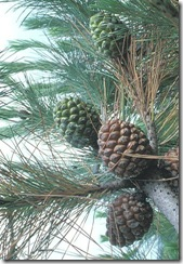 Pinus_pinea