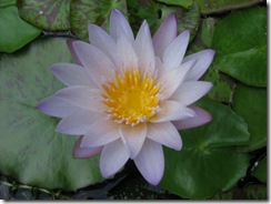 Water Lily light Blue