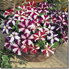 Petunia Stars