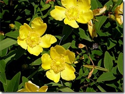 Hypericum canariensis