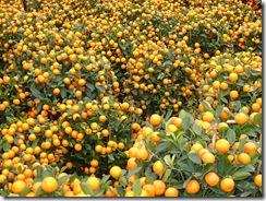 HK Kumquat