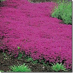 Thymus - creeping-thyme