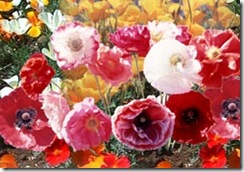 Cascade Poppy Mix