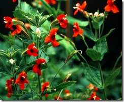 Mimulus cardinalis1