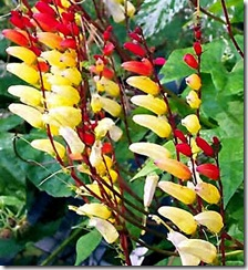 Mina lobata