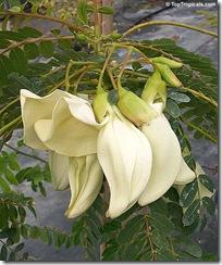 Sesbania grandiflora white