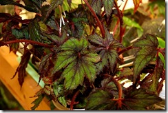 Star Begonia