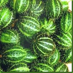 Cumumis myriocarpus