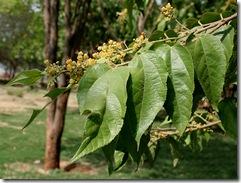 Guazuma_ulmifolia