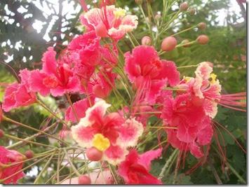 Manuais de cultivo plantamundo ave do paraiso casaelpinia pulcherrima - Caesalpinia gilliesii cultivo ...