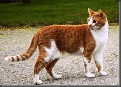 orange_kitty_by_Kayababe