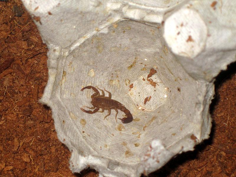 San Diego, CA scorpion - PIX and VID Sd-scorp2