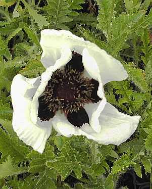 papaver orientale 39 black and white 39 mohn gartenmohn. Black Bedroom Furniture Sets. Home Design Ideas
