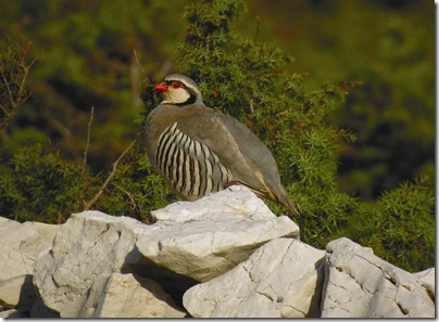 Rock Partridge copyright Val Tours