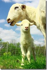 Lambs 2010 (15)