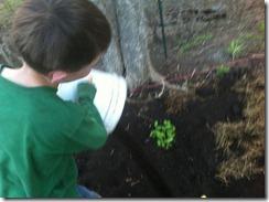 blueberryplanting5