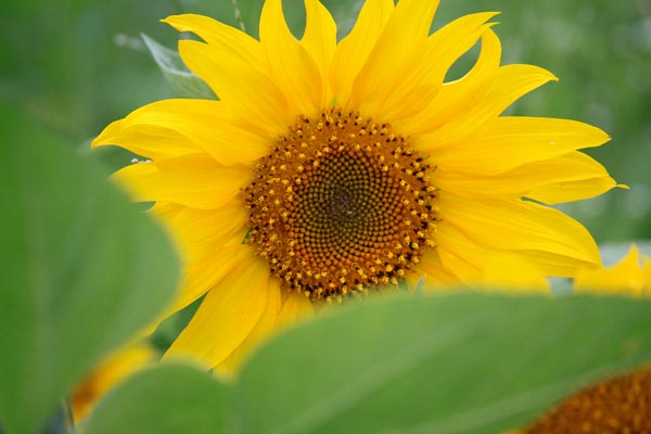 Hidden Sunflower