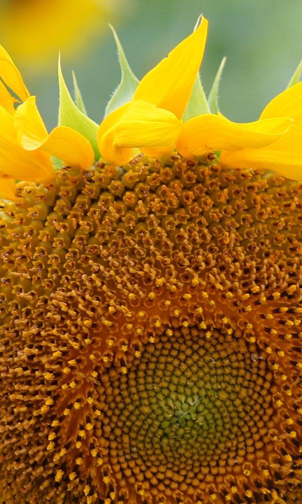Super Close-up of a Sunflower
