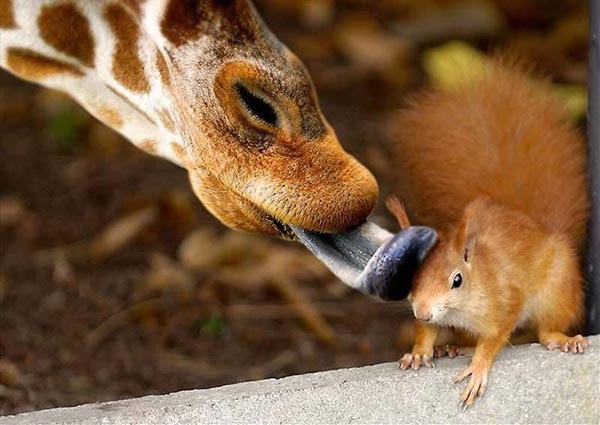 Squirrel being licked by giraffe