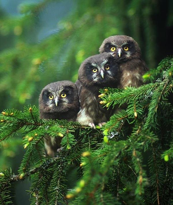 3 old owls on tree