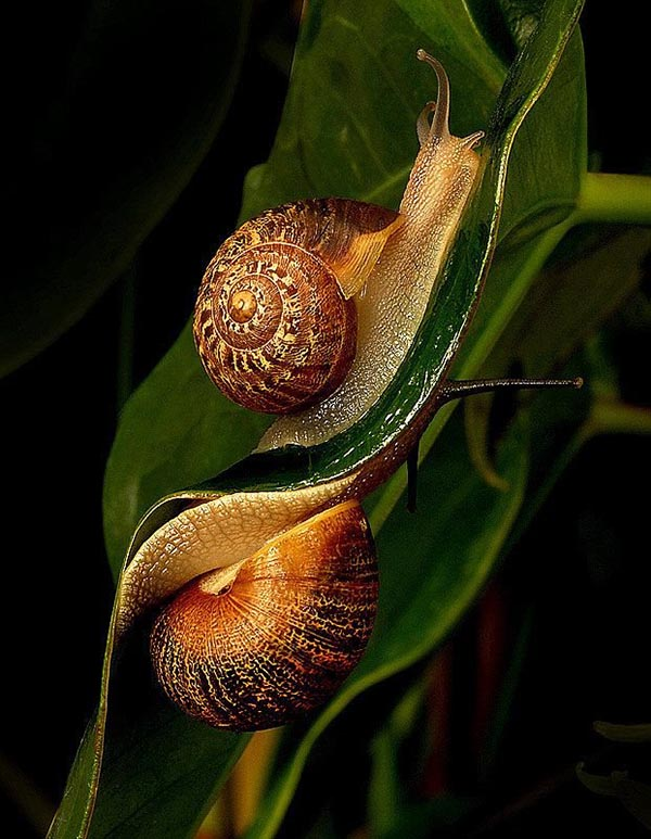 2 sticky snails on 2 sides of leaf