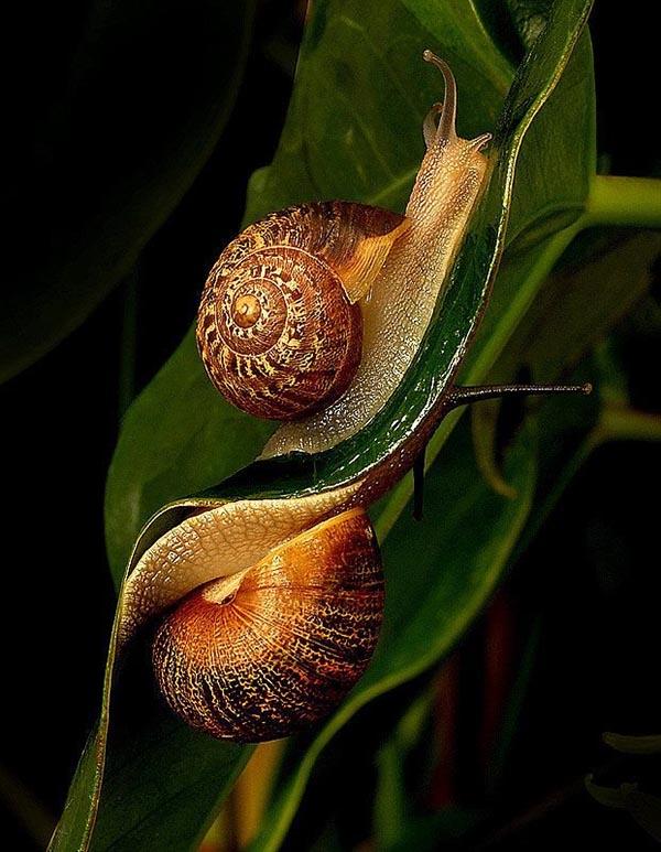 2 sticky snails on 2 sides of leaf