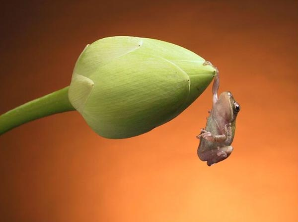 Frog hanging on one hand on flower bud