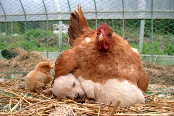 Hen taking care of puppy