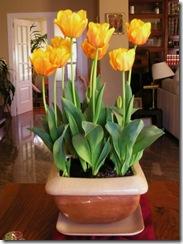 normal_tulipanes%20en%20maceta%20bis