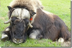 20100623-31 Papaya, injured bull